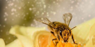 pokryta pyłkiem pszczoła