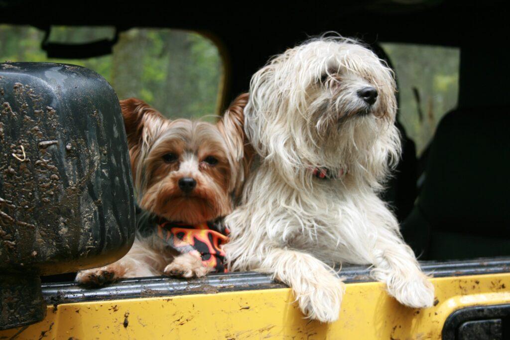 dwa psy patrzące z auta